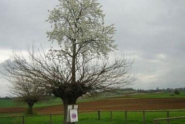 Acest copac este unic in lume. Cum se explica aspectul sau bizar
