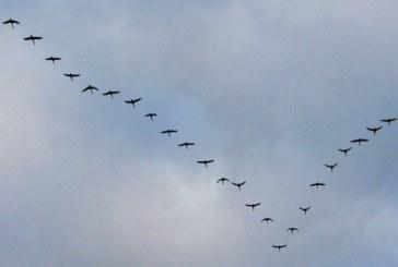 Pasarile migratoare se schimba intre ele in pozitia de conducere a stolului