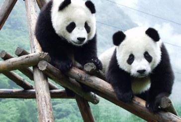 China: Populatia de ursi panda mari este in crestere