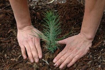Romsilva anunta ca a plantat aproximativ doua miliarde de puieti forestieri din 1991 si pana in prezent