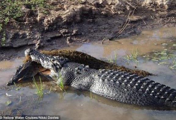 Un crocodil a devorat un alt exemplar din specia lui