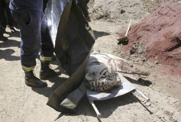Un tigru alb a fost ucis dupa ce a omorat un barbat in Tbilisi