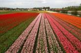 Milioane de flori sunt distruse zilnic in Olanda din cauza coronavirusului