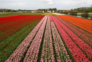Olanda: Exporturile de flori se prăbuşesc, din cauza crizei