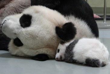 O ursoaica panda a simulat o sarcina pentru a primi mai multa atentie