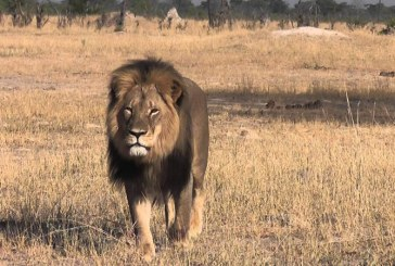Peste 500.000 de lire sterline au fost donate dupa moartea leului Cecil din Zimbabwe