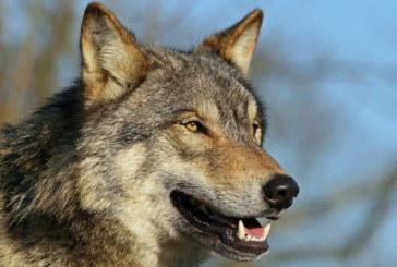 Lupii s-au intors in Danemarca la 200 de ani dupa ce specia a disparut din aceasta tara