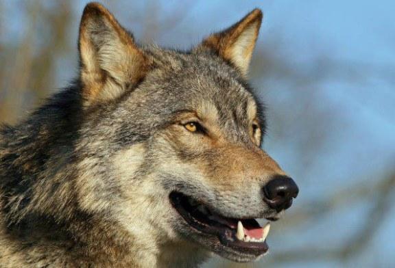 Prima familie de lupi gri reperata in statul California dupa aproape o suta de ani