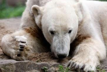 Ursul polar Knut a suferit o forma de encefalita diagnosticata pana acum numai la om