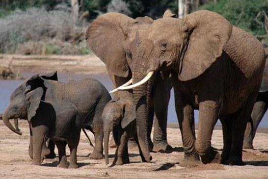 Malawi: O asociatie transfera 500 de elefanti pentru a-i feri de braconaj