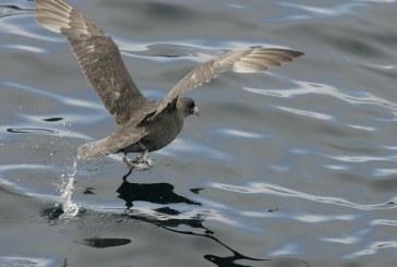 Aproape toate pasarile marine vor ingurgita plastic pana in 2050