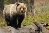 Ursii grizzly din parcul national american Yellowstone vor fi retrasi de pe lista animalelor protejate