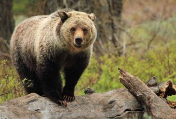 Ursii grizzly din parcul national american Yellowstone vor fi retrasi de pe lista animalelor protejate