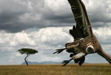 Declin rapid al populatiei de vulturi din Africa
