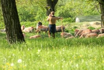 Maramures: Se cauta ciobani. Vezi oferta AJOFM