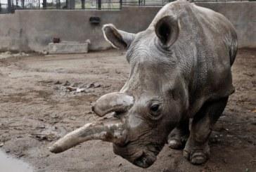 Un rinocer dintr-o specie rara s-a intors in Nepal dupa ce fusese dus de viituri pana in India