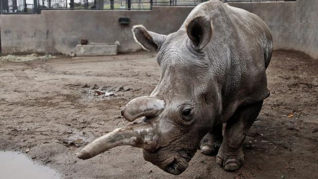 Numarul rinocerilor ucisi de braconieri in Africa de Sud a scazut in 2018, pentru al treilea an consecutiv