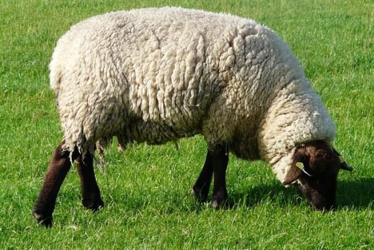 Ministerul Agriculturii: Investitorii doresc sa foloseasca lana de oaie in domeniul constructiilor, ca termoizolant