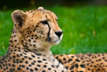 In Africa de Sud gheparzii sunt folositi pentru a tine la distanta alte animale de bazele aeriene