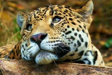 Guvernul sud-african a decis sa nu elibereze niciun permis pentru vanarea de leoparzi in 2016