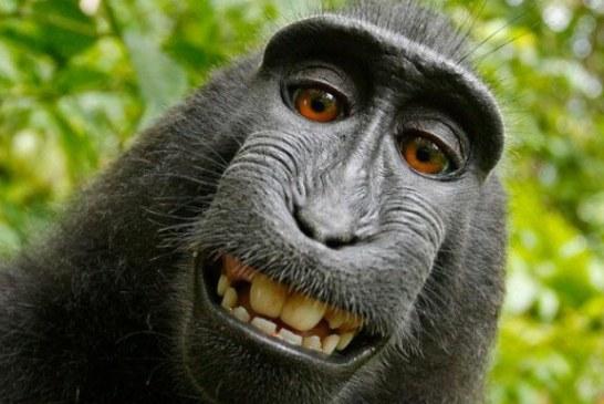 Tribunal american: O maimuta nu poate avea drepturi asupra selfie-urilor sale