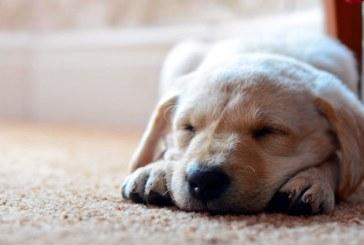 Structura somnului la caini este remarcabil de apropiata de cea de la oameni