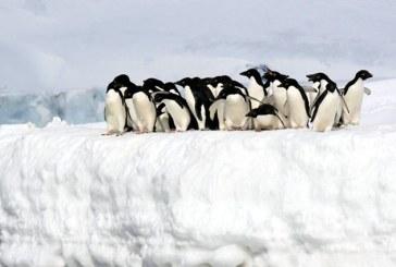 Antarctica: 150.000 de pinguini Adelie au pierit din cauza unui aisberg