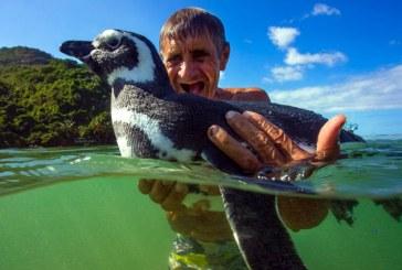 Un pinguin inoata anual 8.000 de kilometri sa isi vada salvatorul