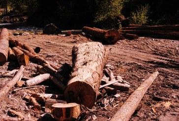 Peste 50 metri cubi lemn confiscati de politistii din Maramures