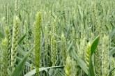 Ministerul Agriculturii: Un procent de 13% din recolta de orz, cultivata la nivelul intregii tari in prezent