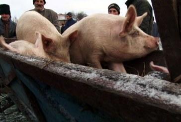 Comertul cu porci, interzis in targurile din Maramures