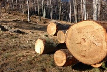 Romsilva: Volumul taierilor ilegale din fondul forestier de stat a scazut cu 25%, in prima jumatate a anului