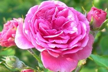 Celebrul trandafir de Damasc, victima a razboiului si a secetei din Siria