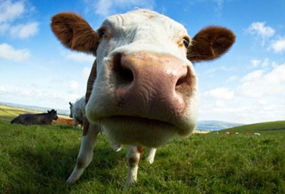 Proiect – MADR: Ajutor financiar pentru fermierii romani care detin intre 3 si 9 vaci de lapte