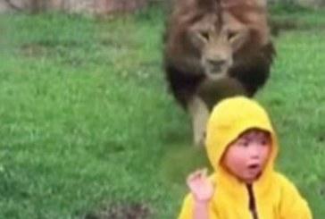 Un leu se arunca asupra unui copil si se ciocneste haios de geamul incintei sale perfect inchise