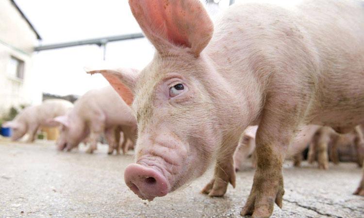 Din cauza PSD cresterea porcilor va fi interzisa in toate gospodariile aflate la mai putin de 10 km de fermele afectate de Pesta Porcina Africana