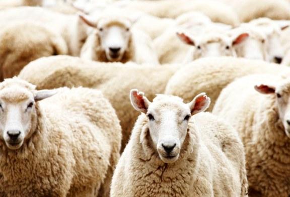 Vanzare oi in Remetea Chioarului – Extras publicatie vanzare mobiliara, din data de 12. 07. 2016