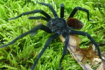 O noua specie de tarantula descoperita in Columbia a primit un nume inspirat de cel al scriitorului Gabriel Garcia Marquez