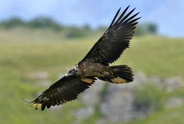 Dupa 83 de ani: Primul vultur barbos din Romania se afla in Maramures