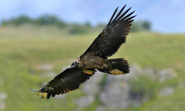 vultur barbos