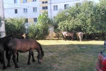 Baia Mare: Caii se plimba ca la ei acasa, prin cartierele orasului