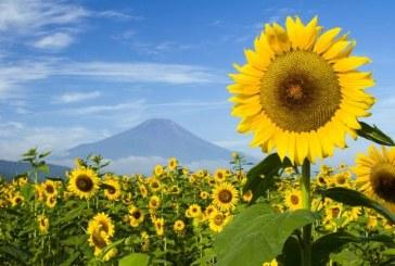 Recoltarea florii soarelui incepe mai devreme din cauza caniculei