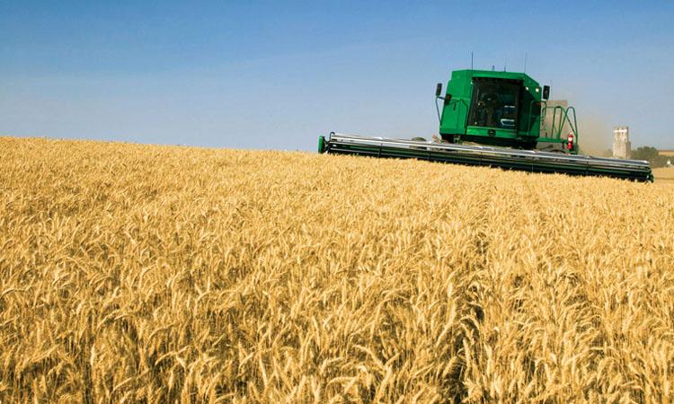 Daea: Productia de grau este mai mare cu 200.000 de tone fata de anul trecut