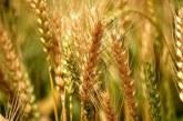"""Recolta de grâu din acest an """"sare"""" de 11 milioane de tone, cea mai mare producţie după aderarea României la UE"""