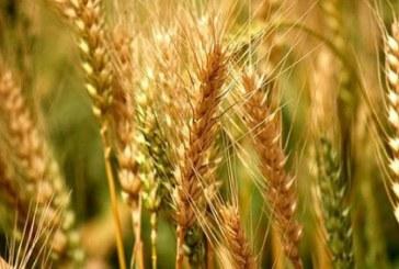 Daea: La grau avem o productie medie de 4.836 kilograme la hectar; Romania nu s-a mai intalnit cu un asemenea randament