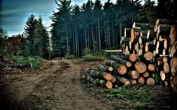 Bistrita-Nasaud: Peste 3.300 de copaci taiati ilegal in Muntii Rodnei; prejudiciul depaseste un milion de lei