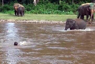 Un elefant a salvat un om de la inec (VIDEO)