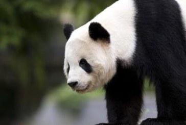 Un urs panda s-a luat la tranta cu un tanar intrus, iar imaginile au devenit virale (VIDEO)