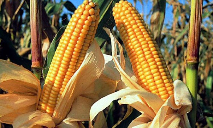 MADR: Suprafata insamantata in primavara acestui an cu porumb si floarea-soarelui se apropie de 3,5 milioane hectare