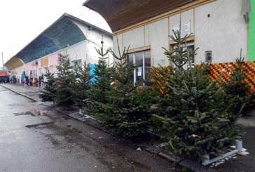 Peste 150 de pomi de Craciun confiscati de politistii maramureseni